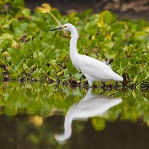 Brazil. A Snowy egret is in the Pantanal. by Ralph H^ Bendjebar