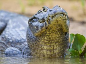 Brazil. A spectacled caiman in the Pantanal. by Ralph H^ Bendjebar