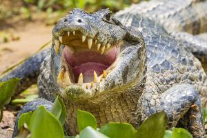 Brazil. A spectacled caiman showing off its teeth in the Pantanal. by Ralph H^ Bendjebar