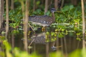 Brazil. A sunbittern foraging along the banks of a river in the Pantanal. by Ralph H^ Bendjebar