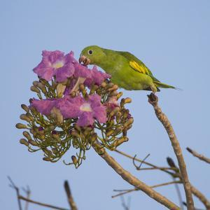 Brazil. A yellow-Chevroned parakeet harvesting the blossoms of a pink trumpet tree in the Pantanal. by Ralph H^ Bendjebar