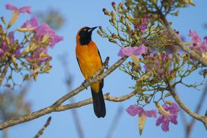 Brazil. An orange-backed troupial harvesting the blossoms of a pink trumpet tree in the Pantanal. by Ralph H^ Bendjebar