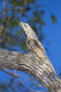 Brazil. Common Potoo resting on a branch in the Pantanal. by Ralph H^ Bendjebar