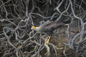 Brazil. Crested Caracara fishing along a river's edge in the Pantanal. by Ralph H^ Bendjebar