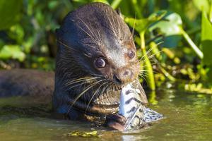 Brazil. Giant river otter eating fish in the Pantanal. by Ralph H^ Bendjebar