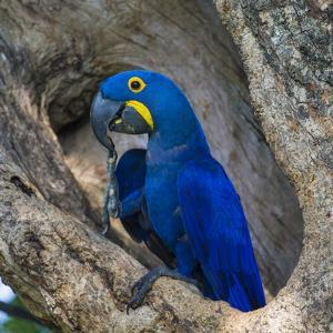 Brazil. Hyacinth macaw in the Pantanal. by Ralph H^ Bendjebar