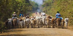 Brazil. Panateros, Brazilian cowboys drive cattle along the Rodovia Transpanateira. by Ralph H^ Bendjebar