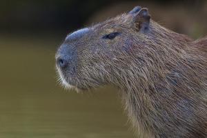Brazil. Portrait of a capybara in the Pantanal. by Ralph H^ Bendjebar