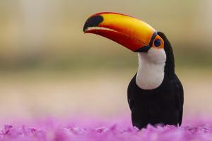Brazil. Toco Toucan in the Pantanal. by Ralph H^ Bendjebar