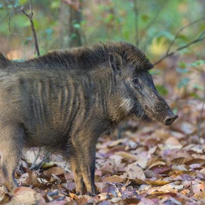 India. Indian boar, Sus scrofa cristatus, at Kanha Tiger reserve. by Ralph H. Bendjebar