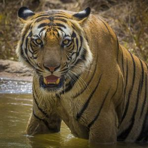 India. Male Bengal tiger enjoys the cool of a water hole at Bandhavgarh Tiger Reserve. by Ralph H. Bendjebar