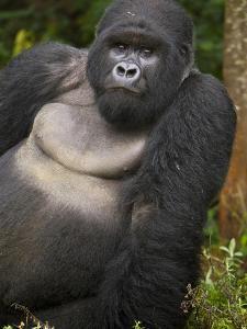 Mountain Gorilla and No 2 Silverback, Kwitonda Group, the Buffalo Wall, Akarevuro, Rwanda by Ralph H. Bendjebar
