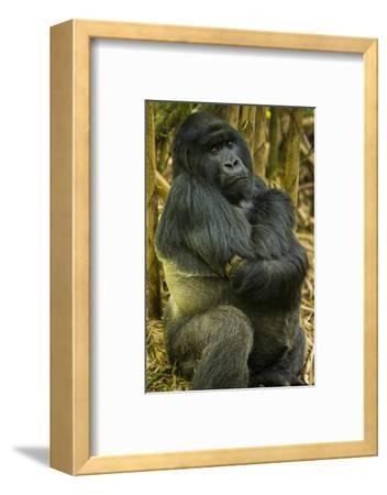 Rwanda. A silverback mountain gorilla at Volcanoes National Park.