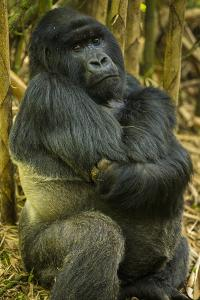 Rwanda. A silverback mountain gorilla at Volcanoes National Park. by Ralph H. Bendjebar