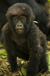 Rwanda. Juvenile mountain gorilla at Volcanoes National Park. by Ralph H. Bendjebar