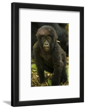 Rwanda. Juvenile mountain gorilla at Volcanoes National Park.
