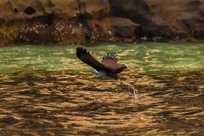 A Brahminy Kite, Heliaster Indus, in Flight Near Porosus Creek in the Kimberley Region