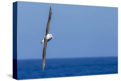 A Black-Browed Albatross in Flight over Blue Water in Drake Passage, Antarctica