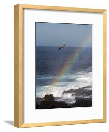 A Blue Footed Booby Soars Above a Rainbow on Espanola Island
