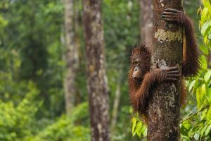 A Bornean Orangutan, Pongo Pygmaeus, Clinging to a Tree Trunk by Ralph Lee Hopkins