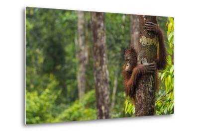 A Bornean Orangutan, Pongo Pygmaeus, Clinging to a Tree Trunk