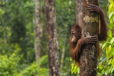 A Bornean Orangutan, Pongo Pygmaeus, Clinging to a Tree Trunk by Ralph Lee Hopkins