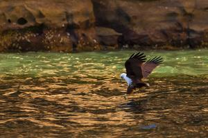 A Brahminy Kite, Heliaster Indus, in Flight Near Porosus Creek in the Kimberley Region by Ralph Lee Hopkins