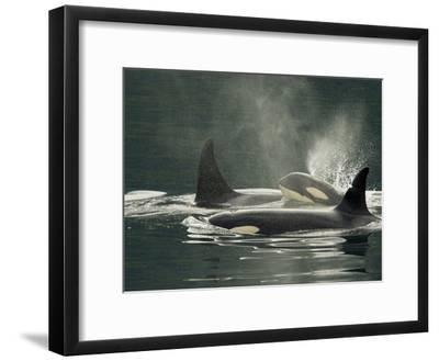 A Family of Orcas Swimming at the Surface of the Ocean