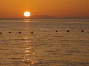 A Flock of Brown Pelicans Flying Low over the Water at Sunset by Ralph Lee Hopkins