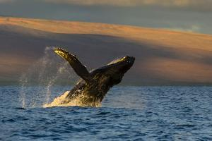 A Humpback Whale Breaches in the Pacific Ocean by Ralph Lee Hopkins