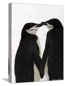A Pair of Chin Strap Penguins Rub Beaks by Ralph Lee Hopkins