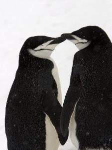 A Pair of Chinstrap Penguins in a Courtship Cuddle by Ralph Lee Hopkins
