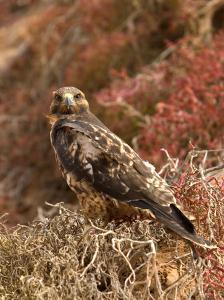 A Portrait of a Galapagos Hawk on Bartolome Island by Ralph Lee Hopkins