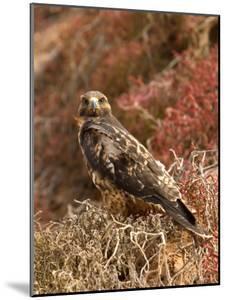 A Portrait of a Galapagos Hawk on Bartolome Island by Ralph Lee Hopkins