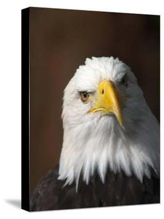 A Portrait of a Northern American Bald Eagle