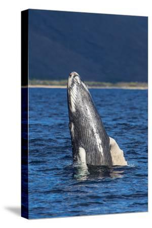 A Young Humpback Whale Rises Out of the Pacific in a Spy Hop