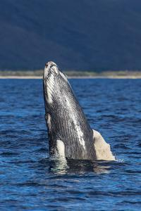A Young Humpback Whale Rises Out of the Pacific in a Spy Hop by Ralph Lee Hopkins