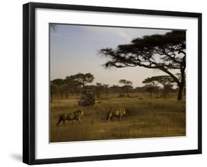 African Lions Walk Through a Plain While a Safari Vehicle Looks On by Ralph Lee Hopkins