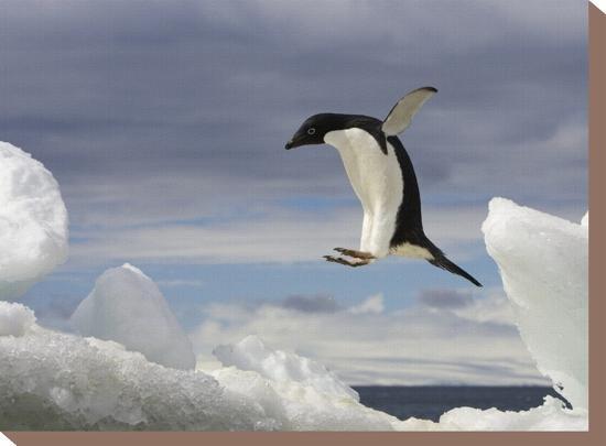 ralph-lee-hopkins-an-adelie-penguin-pygoscelis-adeliae-jumping-on-an-iceberg