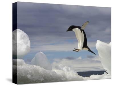 An Adelie Penguin, Pygoscelis Adeliae, Jumping on an Iceberg
