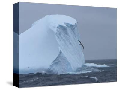 Black-Browed Albatross Flies Past Iceberg