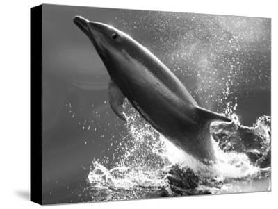 Bottlenose Dolphin, Tusiops Truncatus, Leaping from the Water