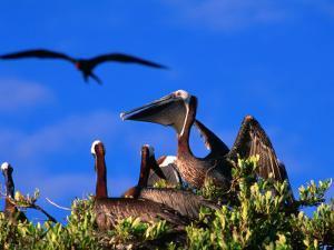 Brown Pelicans Nesting Amongst Red Mangrove, Cayos Cochinos, Islas De La Bahia, Honduras by Ralph Lee Hopkins