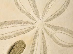 Close View of a Sand Dollar by Ralph Lee Hopkins