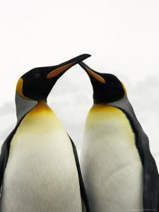 Courting King Penguins Touch Bills by Ralph Lee Hopkins