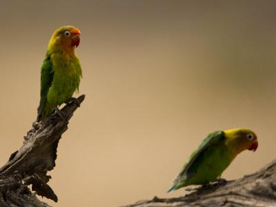 Fischer's Lovebirds Perch on a Branch