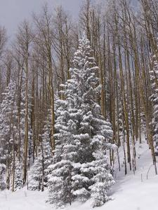 Fresh Snow Tops the Trees in Santa Fe National Forest During Winter by Ralph Lee Hopkins