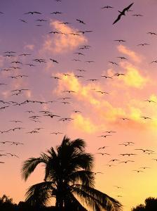 Frigate Birds Soaring at Sunrise Around Coconut Palms, Cayos Cochinos, Islas De La Bahia, Honduras by Ralph Lee Hopkins