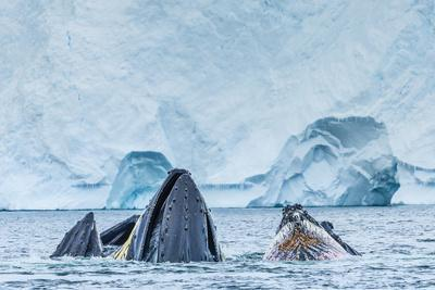 Humpback Whales Lunge Feeding Near Paradise Harbor, Antarctica
