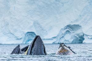 Humpback Whales Lunge Feeding Near Paradise Harbor, Antarctica by Ralph Lee Hopkins